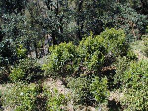 Устойчивое земледелие. Малые чайные деревья.